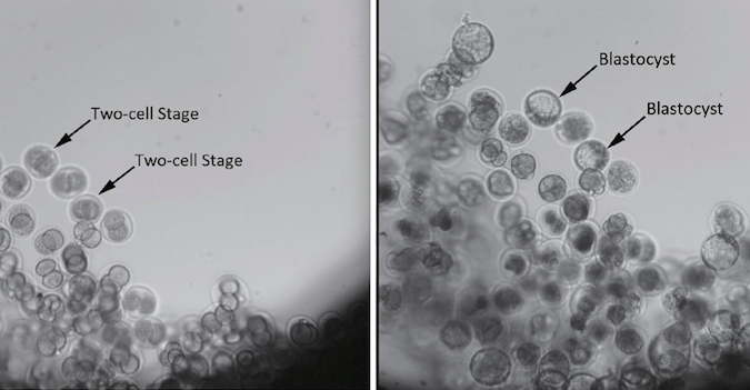 This before-and-after look at mouse embryos flown aboard the Shijian 10 spacecraft show their development from two-cell embryos four hours before launch (left) into more complex blastocysts 80 hours after launch. Credit: China Daily